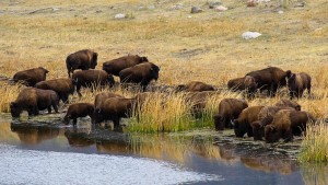 Yellowstone National Park Wildlife Viewing American Bison